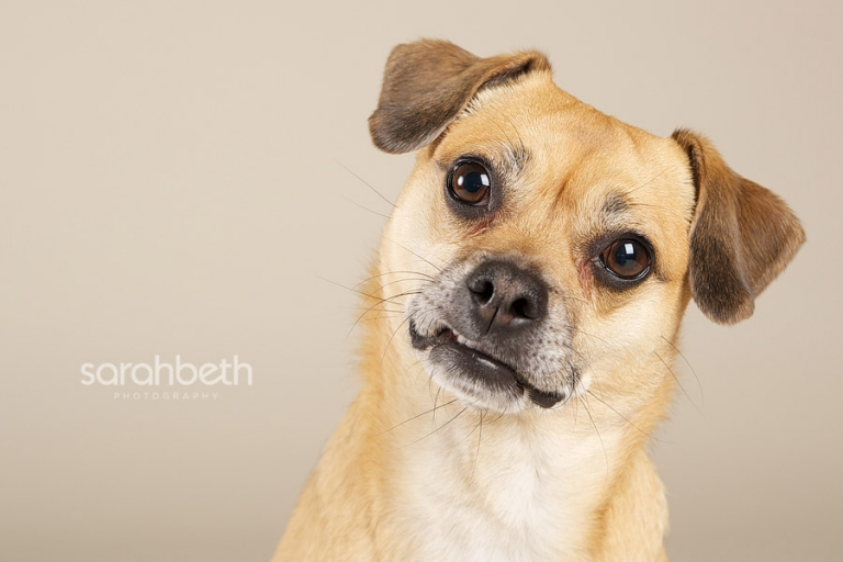 portrait of a puggle, pug rat terrier