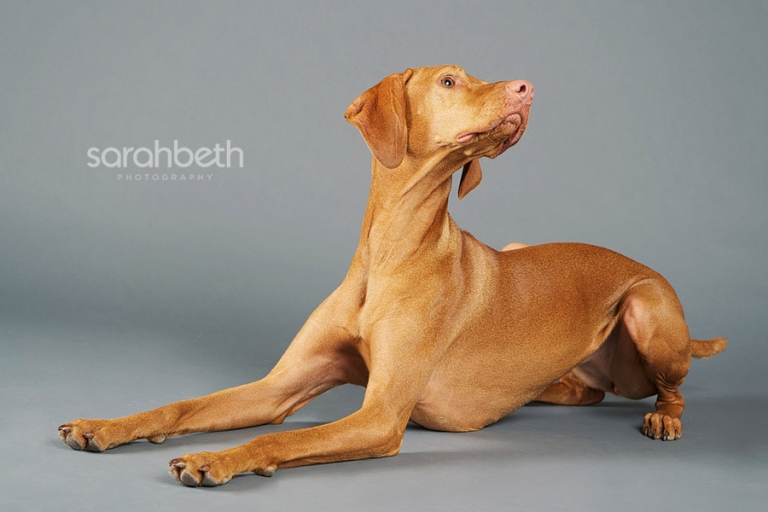 vizsla dog photo