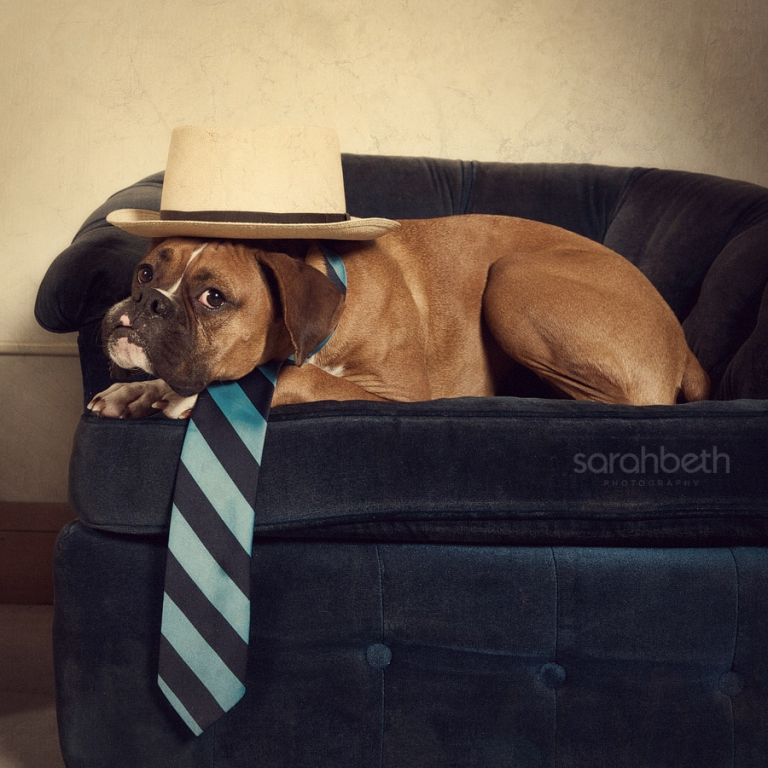 boxer, hat, tie, blue chair