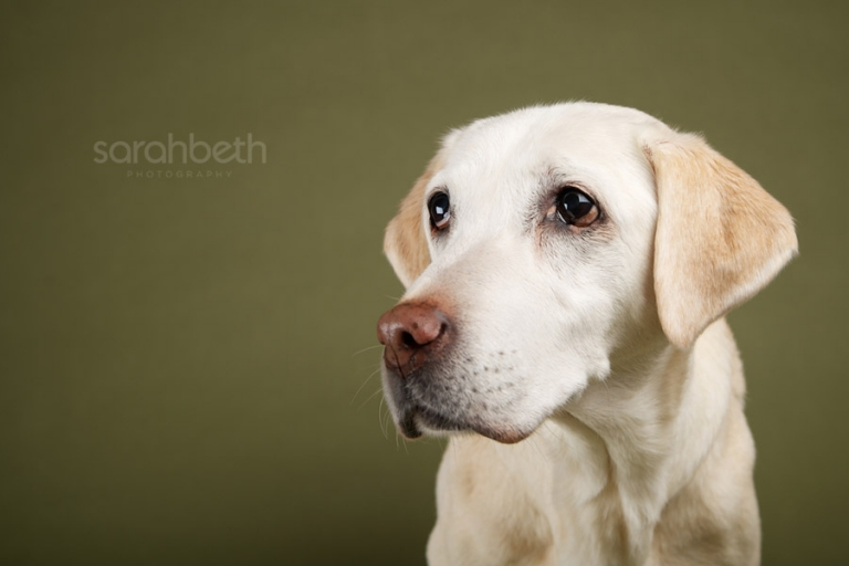 yellow lab studio portrait