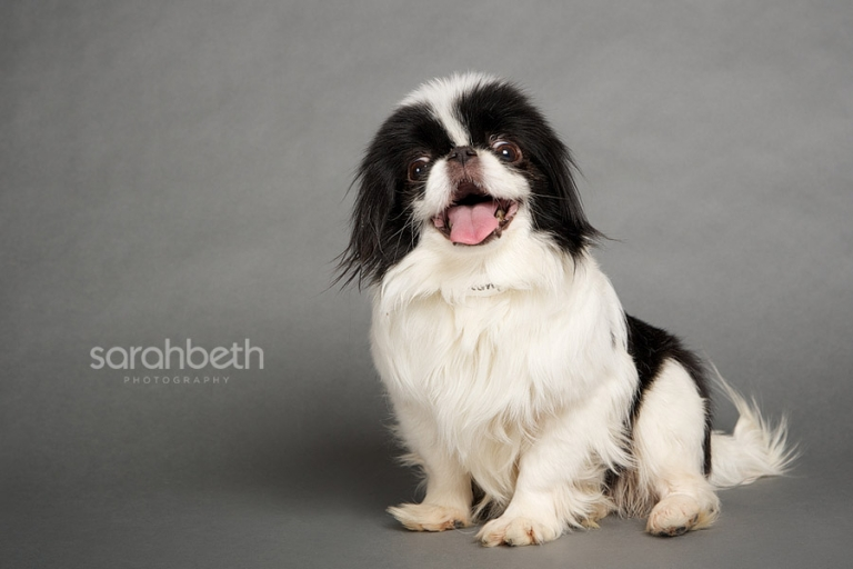 japanese chin puppy mill dog rescue
