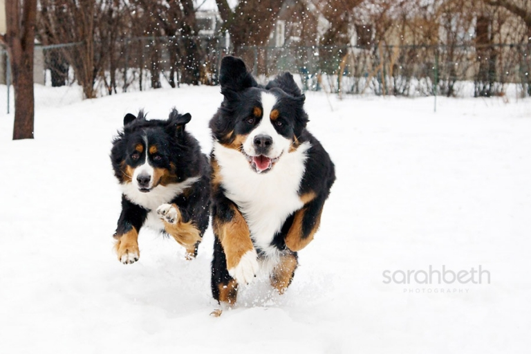 bernese mountain dog running in the snow