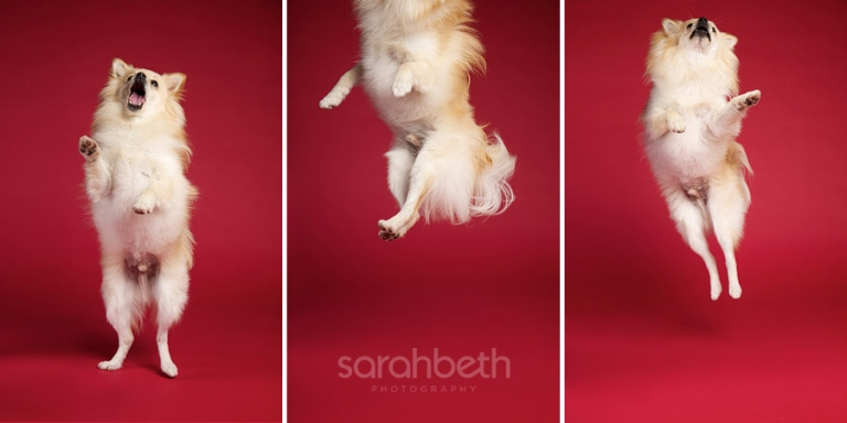 pomeranian jumping red background