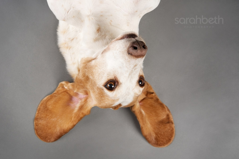 upside down dog floppy ears