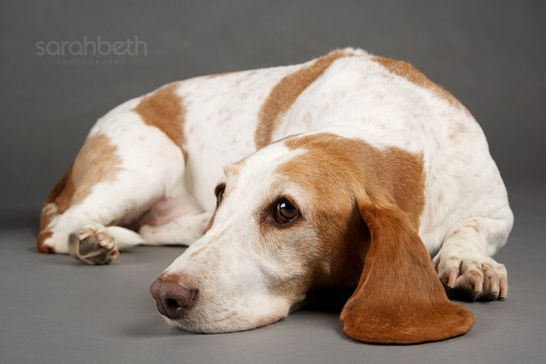 minneapolis basset dog laying down