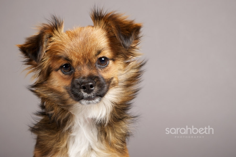 chihuahua cavalier mix rescue dog