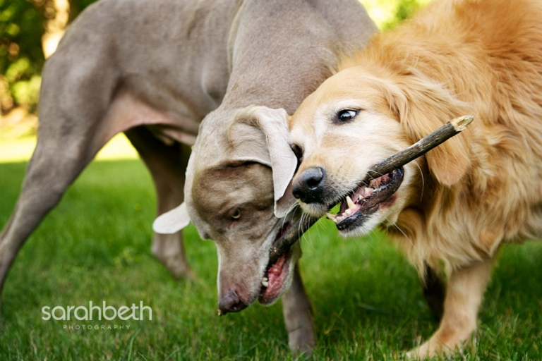 two dogs chewing on a stick together