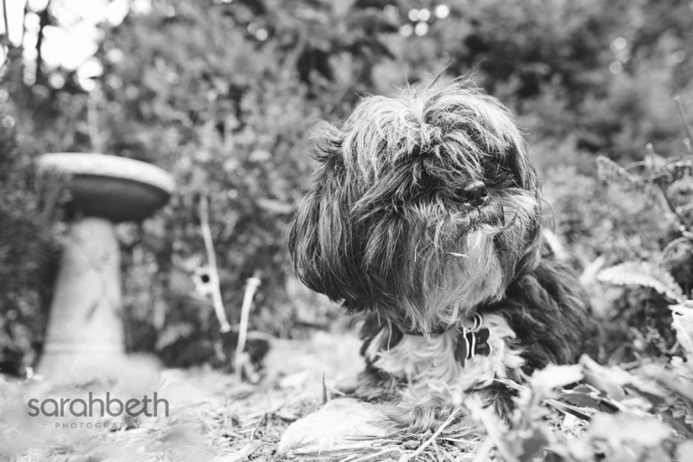 shih tzu dog outdoors