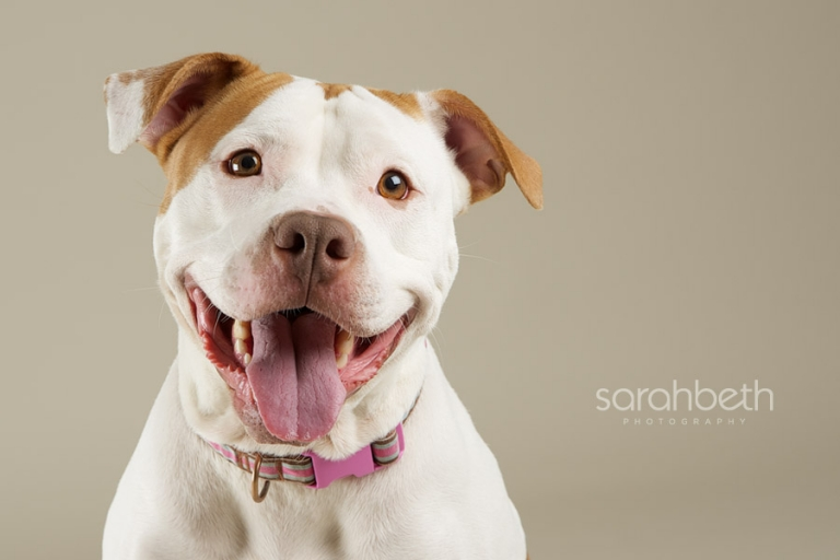 smiling pit bull twin cities