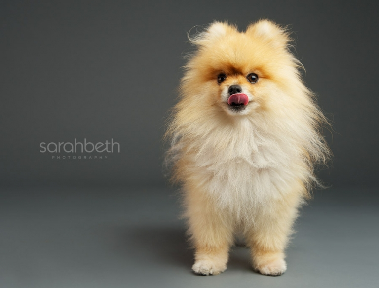 minneapolis pomeranian beige