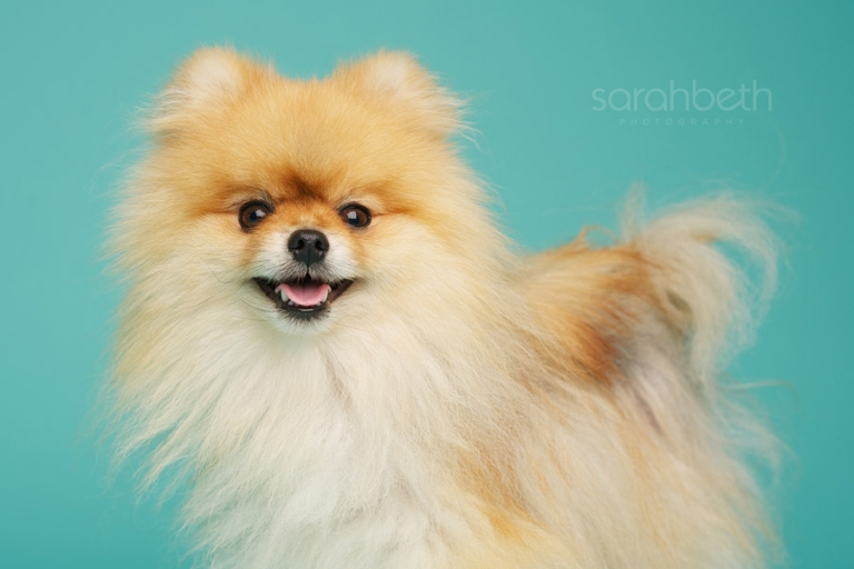 photo of a smiling show pomeranian on turquoise