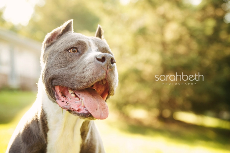 pit bull smiling in the sun
