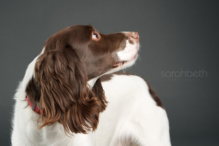 liver and white springer mix in minneapolis
