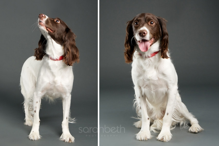 cute white and brown spaniel dog st paul mn