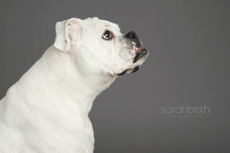 profile of a white deaf boxer