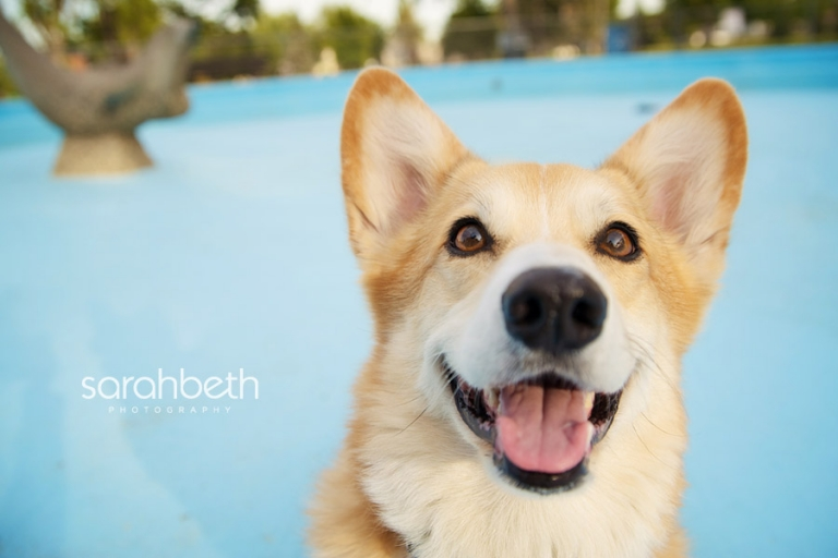 smiling corgi in an empty pool