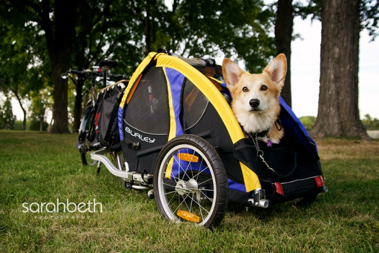 dog riding in a bike trailer