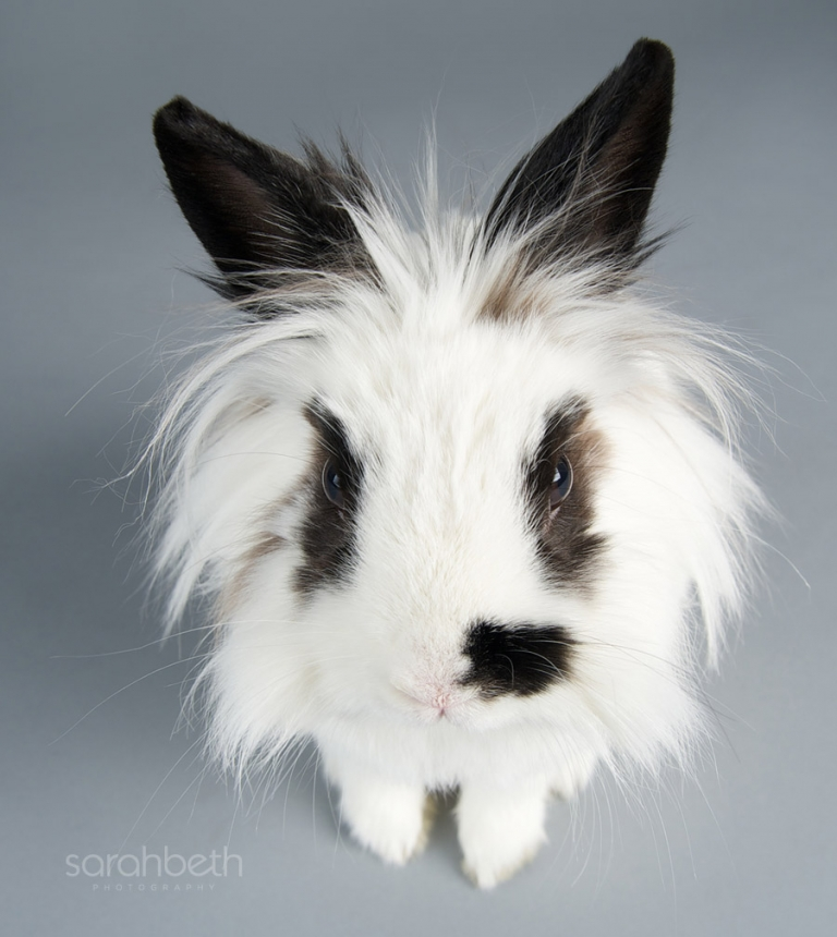 black and white lion head bunny