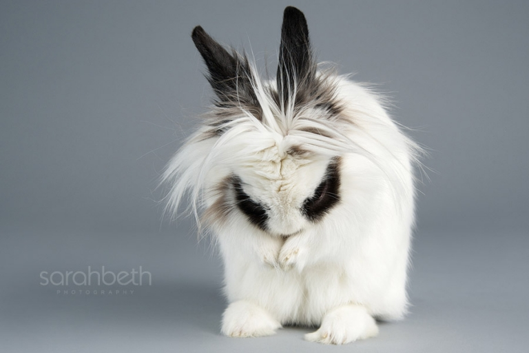 long hair rabbit grooming