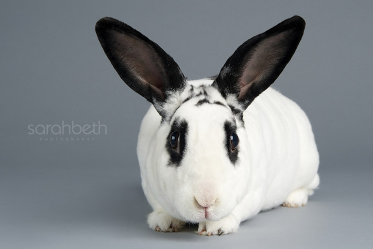 black and white rex rabbit with dew lap