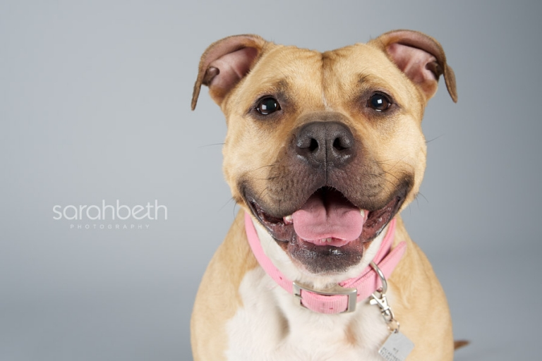 pit bull smiling on grey background