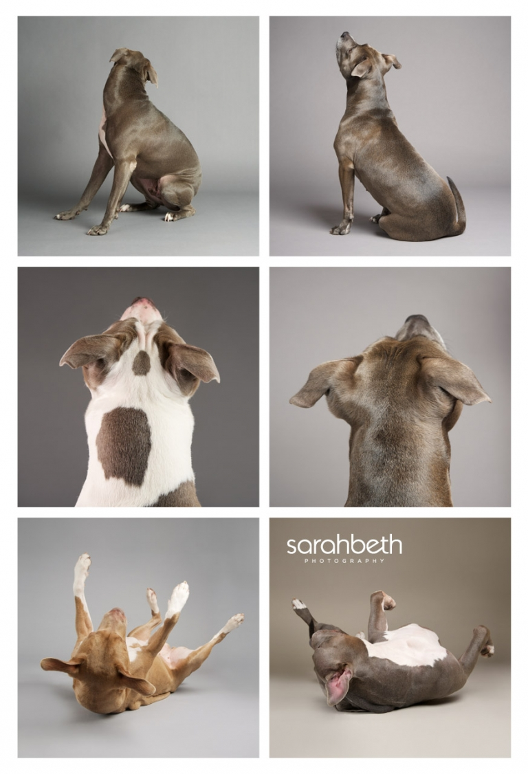 pitbull dog breeds