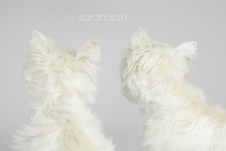 backs of heads, westie dogs