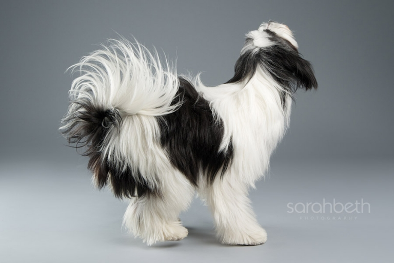 unique photo of a tibetan terrier