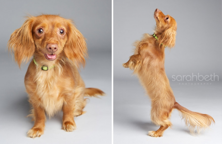 red long hair rescue dog