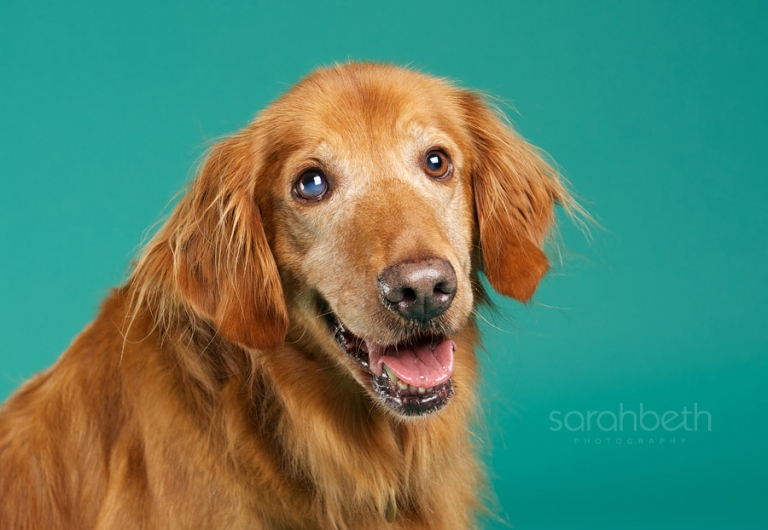 golden retriever rescue minneapolis