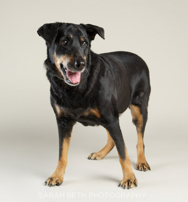 happy black rottie mix dog