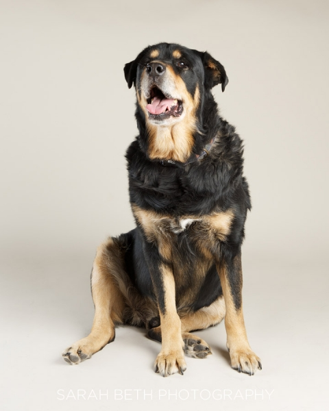 rottweiler sitting, studio shot