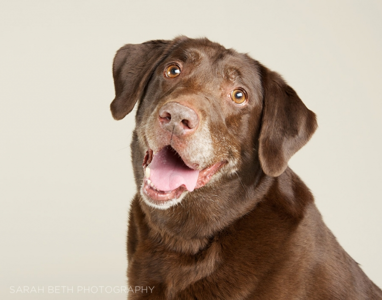 grey muzzle, chocolate lab smiling portrait