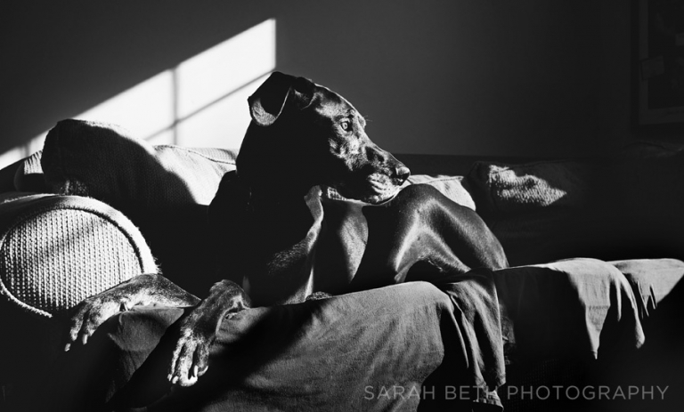 great dane, contrast, sunlight