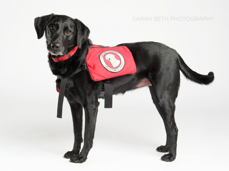 black lab, rescue dog, assistance dog