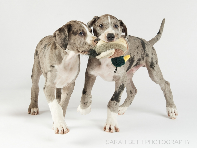 two blue merle great dane puppies, duck toy