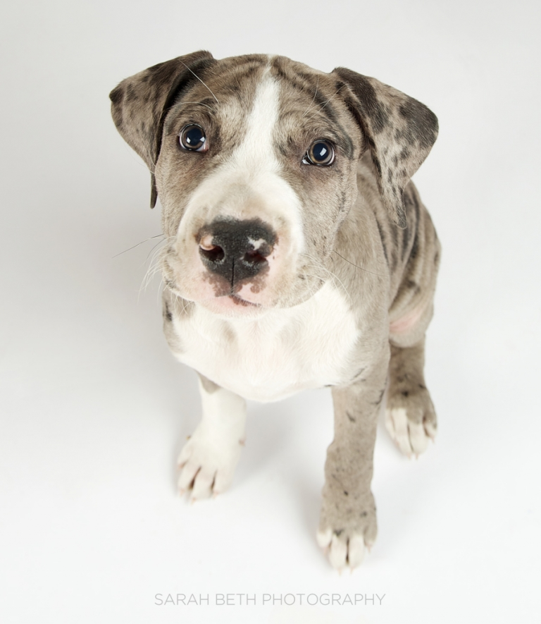 female great dane puppy, adoption