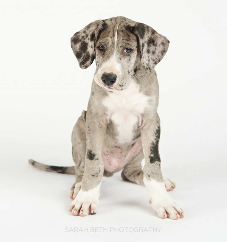 blue merle great dane puppy on white studio background