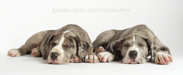 twin sleeping great danes, giant paws