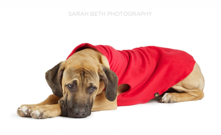 mastiff puppy, red coat