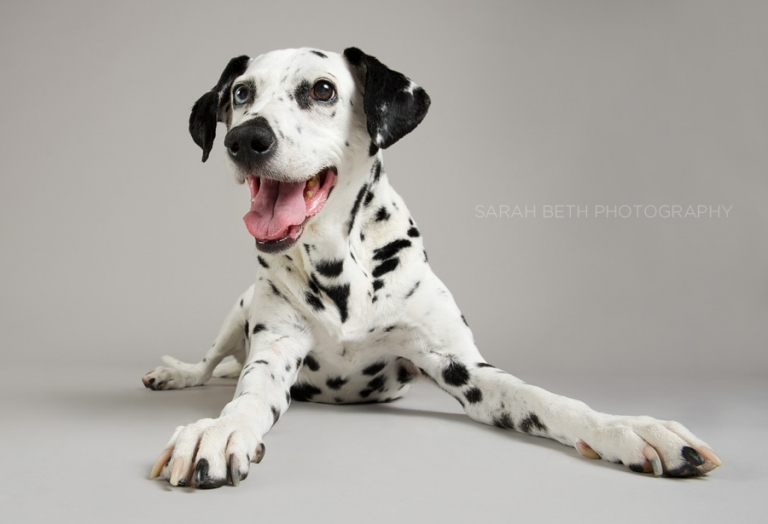 dalmation, studio photography, grey background