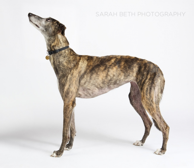 brindle greyhound, rescue, white background