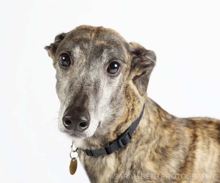 sweet face, greyhound, grey muzzle