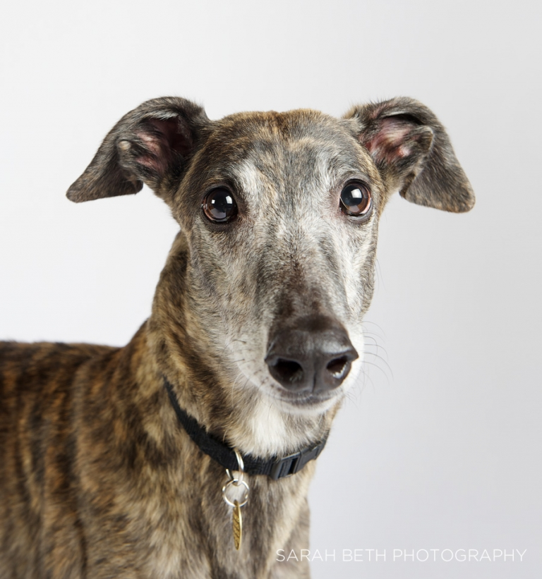 brindle greyhound, ears perked, retired racing hound