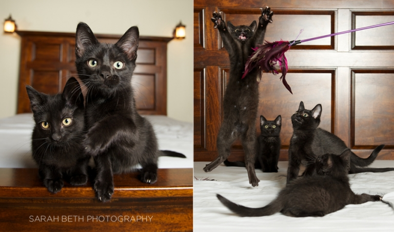 litter of black kittens, leaping for feather toy