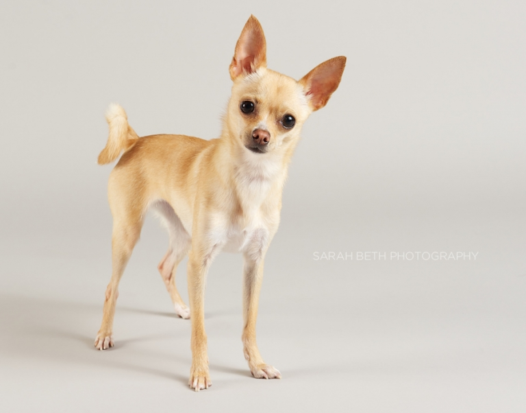 tan chihuahua rescue dog in minneapolis, minnesota