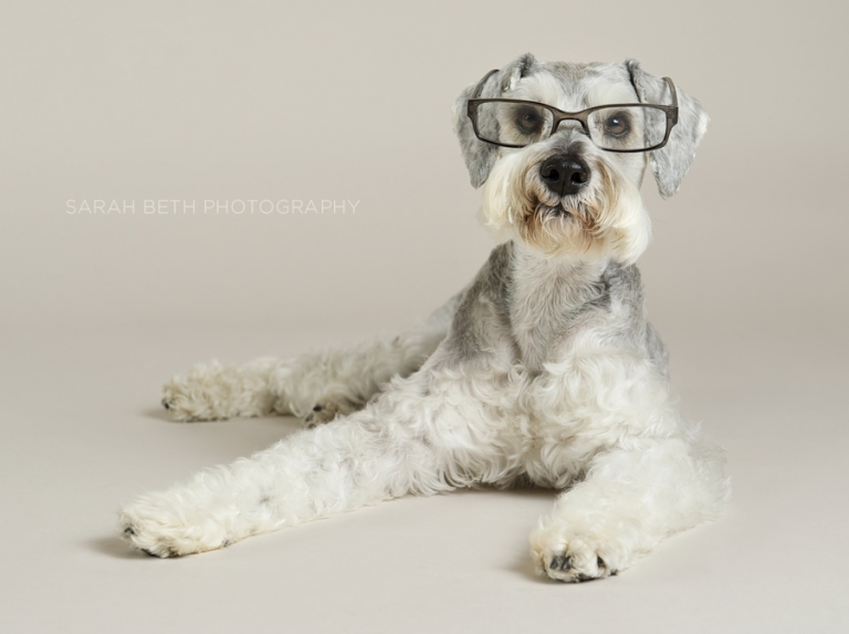 salt and pepper schnauzer wearing glasses