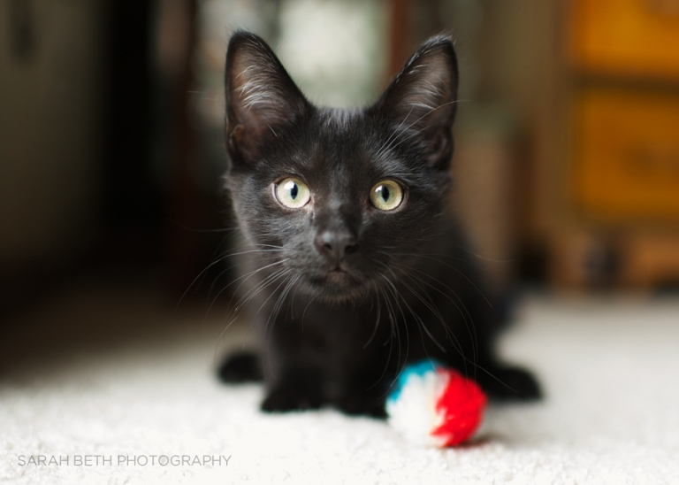 black kitten with a cat toy, playful