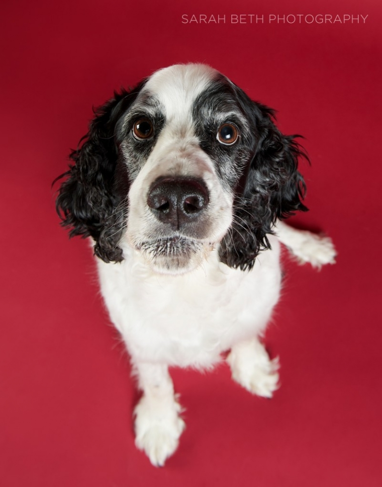 black and white spaniel on red background