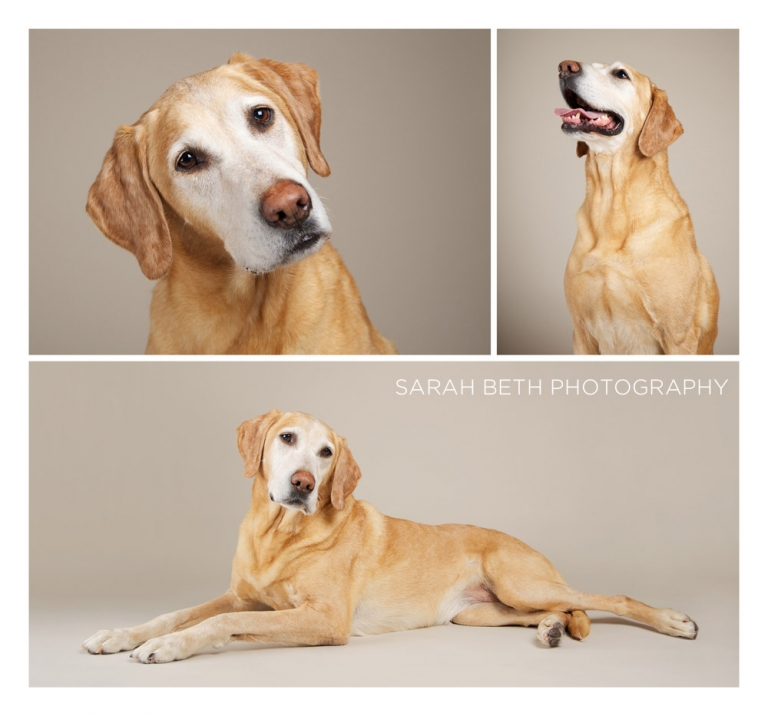 Yellow Lab studio photography photo album
